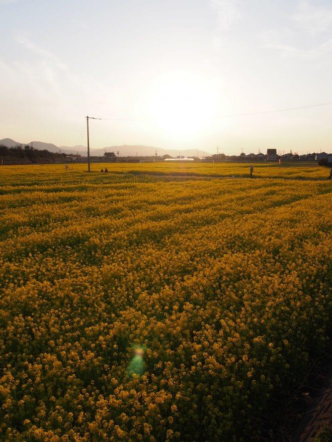 見奈良菜の花夕景