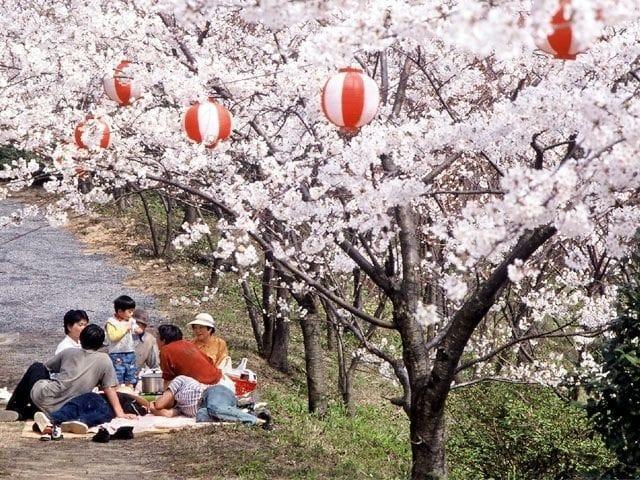塩ヶ森ふるさと公園2-愛媛県桜