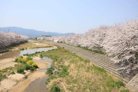頓田川河川敷-愛媛県桜