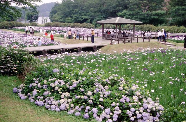 池田池公園菖蒲園1