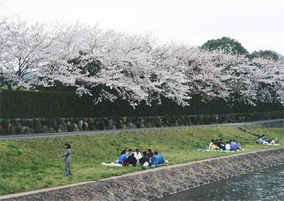 南楽園-愛媛県桜