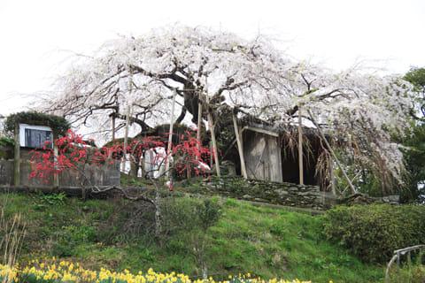 石畳東の枝垂桜-愛媛県桜