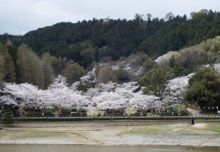 滝の宮公園-愛媛県桜