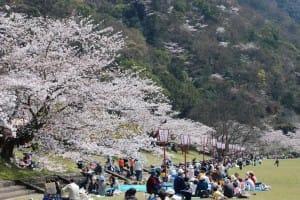 武丈公園-愛媛県桜