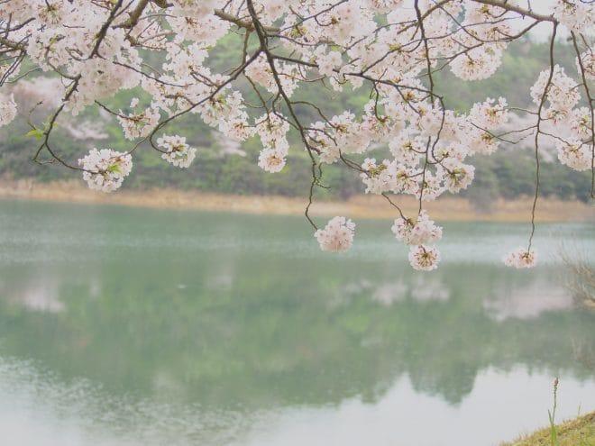 池田池公園桜