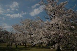 すすきヶ原入野公園-愛媛県桜
