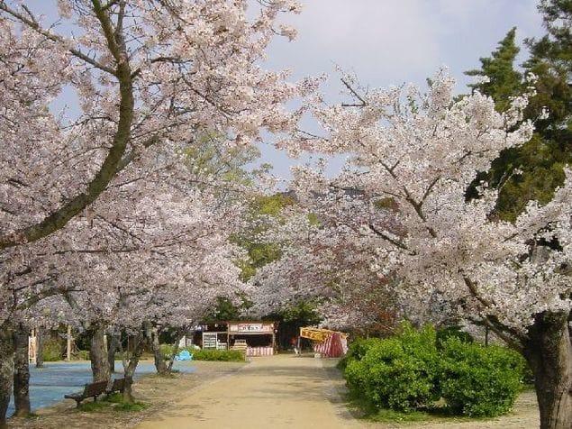 道後公園桜