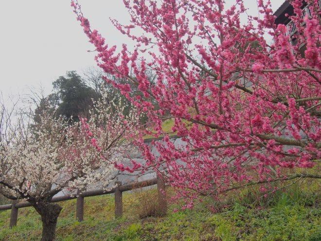 瓦ふるさと公園梅の木1