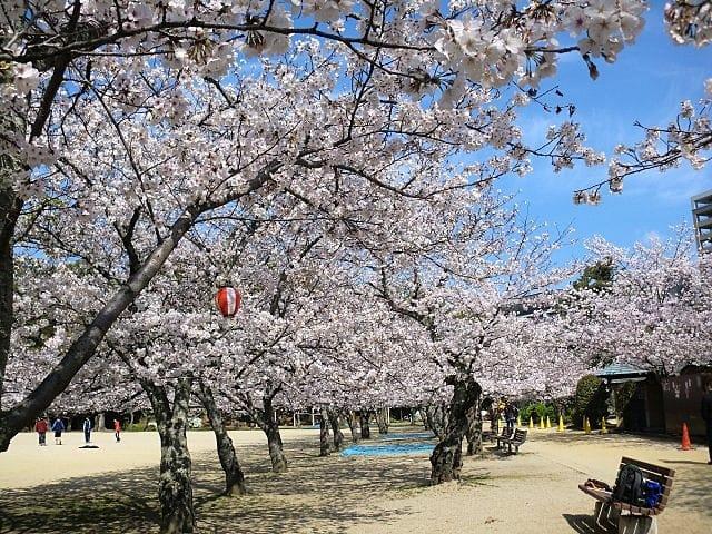 まったこ道後公園桜
