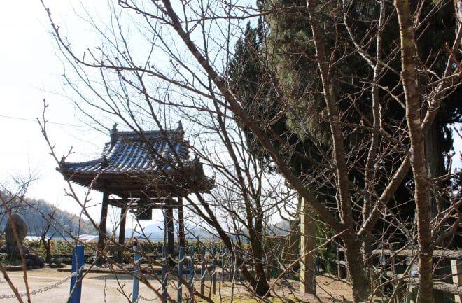 西法寺薄墨桜16